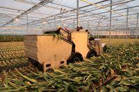 Succesvolle demonstratie innovatieve amaryllisblad-verwijder-machine